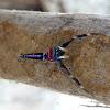 Elegant Jumping spider