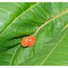 Rodolia pumila 小紅瓢蟲