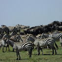 common zebra: wildebeest migration