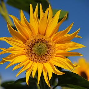 Mellow Yellow by Laura Bentley - Nature Up Close Flowers - 2011-2013 ( colourful, alberta, fall, sunflower, garden )