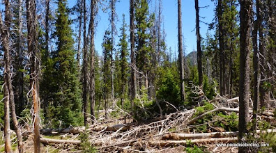 Photo: Beetle-killed lodgepole/hemlock forest, local realm of the American Three-toed Woodpecker, Sparks Lake
