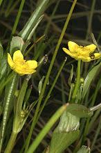 Photo: Ranunculus alismifolius (Geyer, 1849) - Water Plantain Buttercup aka Plantainleaf Buttercup, DHG