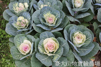 Photo: 拍攝地點: 梅峰-一平臺 拍攝植物: 葉牡丹 拍攝日期:2013_07_30_FY