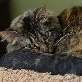 Fuzzball and her fuzzballs by Missy Roberts - Animals - Cats Portraits ( pets, cats, cat, animal, animals, portrait, pet, soft )