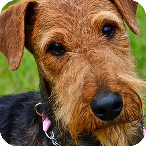 Airedale Terrier Background 個人化 App LOGO-APP試玩