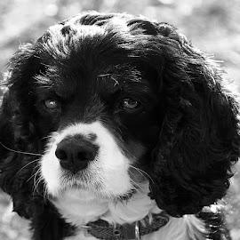 Mono Jack by Chrissie Barrow - Black & White Animals ( monochrome, black and white, pet, cavalier king charles spaniel, dog, mono, animal )