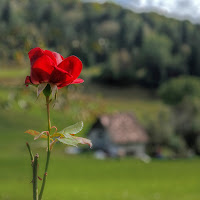 Una rosa rossa per dipingere ogni cosa