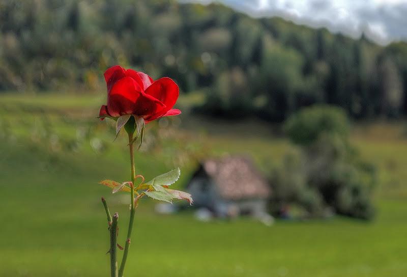 Una rosa rossa per dipingere ogni cosa di Moreno re
