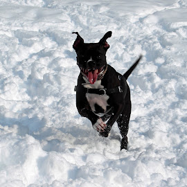 Arya by Michiale Schneider - Animals - Dogs Playing ( play, snow, black, animal, canine, dog, jump,  )