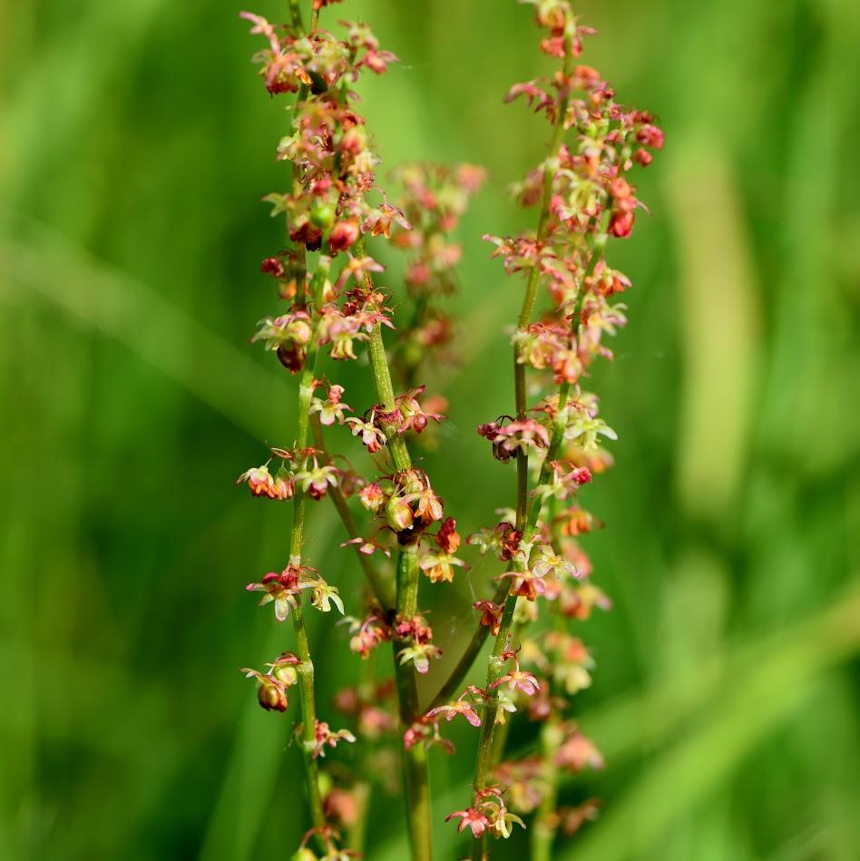 bloeiwijze (mannelijke plant)