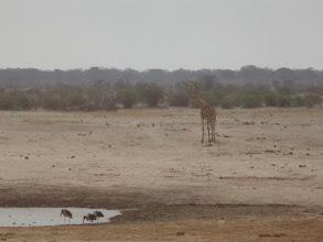 Photo: A thirsty giraffe