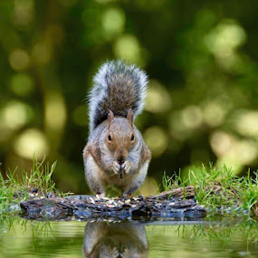 Squirrel Deep in Thought. by Richard Adams - Animals Other ( water, reflection, novice, nature, serenity, d7100, wildlife, nikon,  )