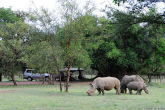 Photo: White Rhino mom, dad and son (or is it daughter) grazing in the Bontle Camping Site, Marakele National Park, South Africa. Please see the introduction to this album in the blue link below for more information on the peaceful co-existence of campers and rhino.