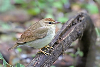 Photo: Swainson's Warbler