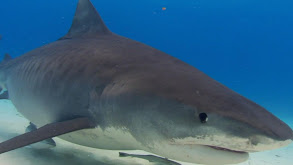 Compilations: Tiger Shark Terror thumbnail
