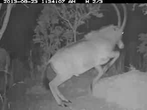 Photo: Hybrid bull jump Um macho híbrido saltando