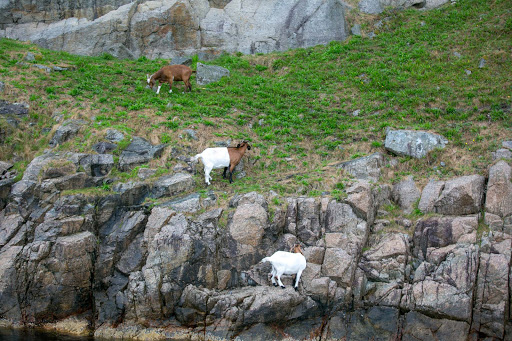 mountain-goats-grazing-on-hillside.jpg -  Mountain goats grazing on a hillside along the Lysefjord fjord near Stavanger in western Norway.