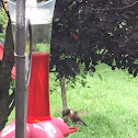 Ruby throated humming bird