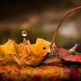Autumn Drops by Alberto Ghizzi Panizza - Abstract Water Drops & Splashes ( water, autumn, drops, leaves, snail,  )