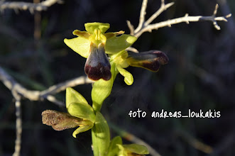 Photo: Ophrys iricolor  ΟΦΡΥΣ Η ΙΡΙΔΟΧΡΩΜΗ Σταθερή μορφολογικά ορχιδέα, ένας από τους τρεις εκπρόσωπους της ομάδας iricolor στην Ελλάδα. Με μεγάλο (περίπου 2 εκατοστά) χείλος*, σχεδόν οριζόντιο, με βαθιά εντομή σχήματος V στη βάση του και χαρακτηριστικό ιώδη-πορφυρό χρωματισμό στην κάτω επιφάνειά του. Κατανέμεται σε όλη την κεντρική και νότια Ελλάδα, νησιά του Αιγαίου, ενώ στα Ιόνια βρέθηκε μόνο στην Κεφαλονιά. Ανθίζει τους μήνες Φεβρουάριο ως Απρίλιο.