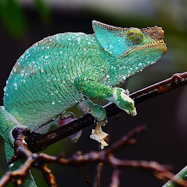 After the shower by Gérard CHATENET - Animals Reptiles