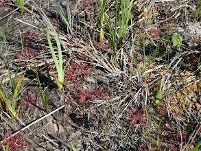 """Photo: Drosera capillaris """"long petiole"""" at Tate's Hell (Florida Panhandle)"""