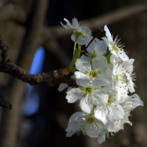 nikon 3-7-17 tree flower 10.jpg