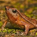 Intermediate sticky frog