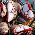 Gooseneck Barnacle Leaf Barnacle