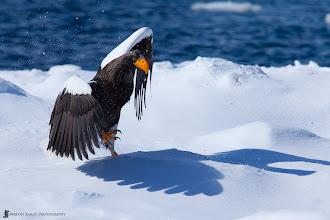 Photo: Shadow Dancing - A Steller's Sea Eagle doing a war-dance on the sea ice off the coast of Hokkaido.