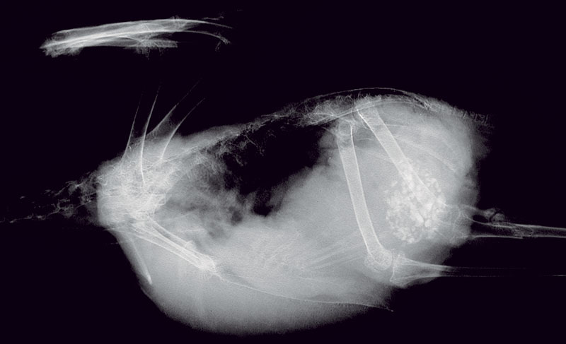 Ventrodorsal and right lateral radiographs of the Amazon parrot in Fig 18.16.