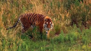 A Tiger's Tale thumbnail