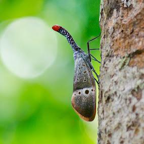 Lantern Bug by Oren Kaler - Animals Other ( up close, bugs, nature )