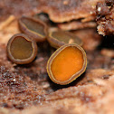 Chlorencoelia Cup Fungus