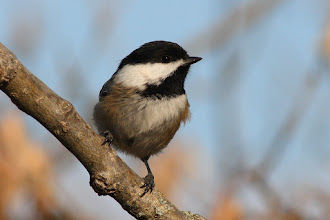 Photo: #BirdPoker Portraits curated by +Phil Armishaw  A Black-capped Chickadee taken last week, to cover +Paul Reeves chickadee card.