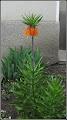 Photo: Coroană imperială (Fritillaria imperialis) - de pe Str. Salinelor - 2018.04.13 Album pe blog: http://ana-maria-catalina.blogspot.ro/2018/04/coroana-imperiala-fritillaria-imperialis.html