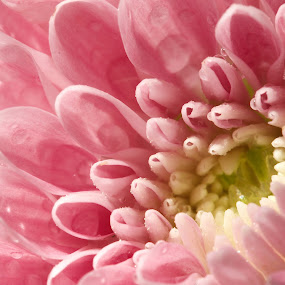 flower by Jane Fourie - Flowers Single Flower ( pink, macro flower, nature up close, pink flower, colourful,  )