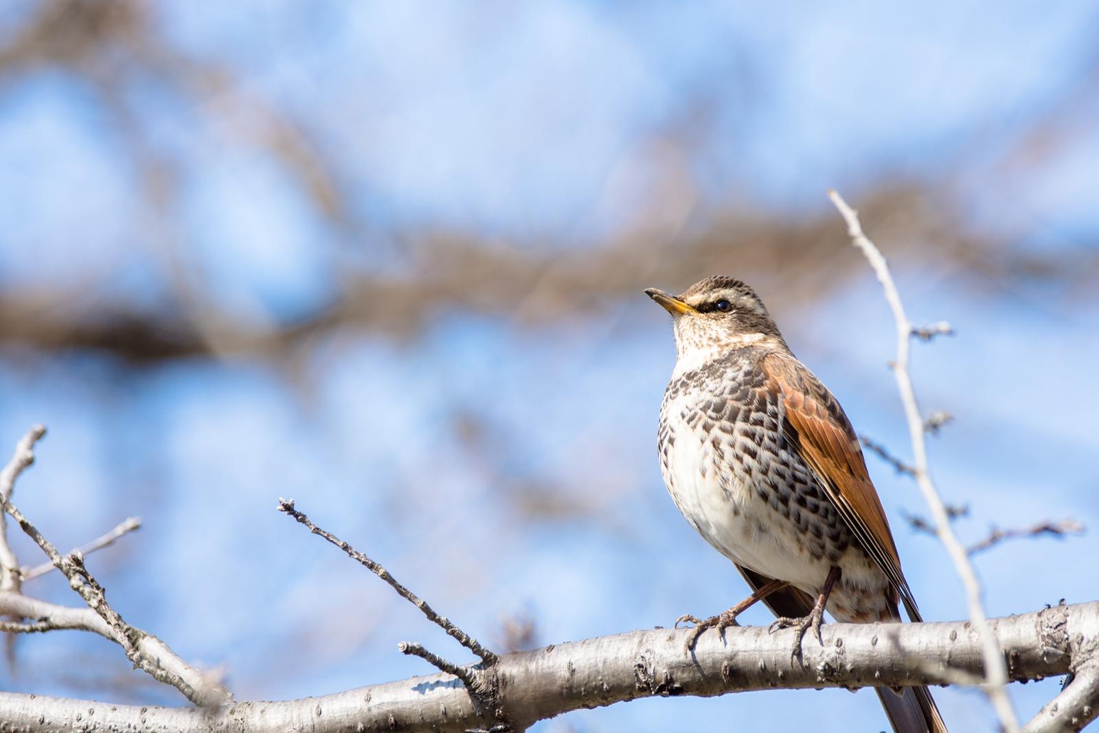 Photo: 「その先に」 / Ahead of there.  想い描く この先にあるもの きっと穏やかな未来 つぶらな瞳に希望が浮かぶ  Dusky thrush. (ツグミ)  Nikon D7200 SIGMA 150-600mm F5-6.3 DG OS HSM Contemporary  #birdphotography #birds #kawaii #小鳥 #nikon #sigma #小鳥グラファー  ( http://takafumiooshio.com/archives/1105 )