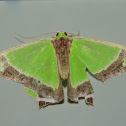 Crimson-spotted Emerald Moth