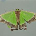 Crimson-spotted Emerald Moth