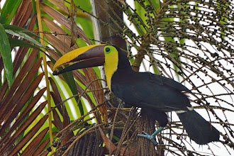 Photo: Chestnut-mandibled Toucan @ Bosque del CaboLodge, Osa Peninsula
