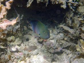 Photo: Labracinus cyclophthalmus (Firetail Dottyback), Chindonan Island, Palawan. Philippines.