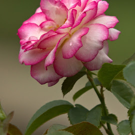 Standing Alone by Kevin Frick - Flowers Single Flower ( rose, single flower, pink, flower )
