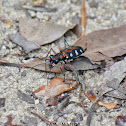 Blue-spotted Or Golden-spotted Tiger Beetle