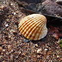 Common Cockle shell