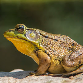 Frog by Sue Matsunaga - Animals Amphibians