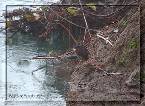 Photo: NF Photo 110130, Green Heron  at Hotel Linda Vista in Costa Rica http://nfbild2.blogspot.com/2011/02/ww-green-heron.html