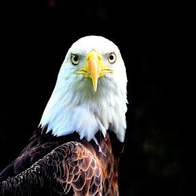 Eagle Stare by Emily Vickers - Animals Birds ( eagle, america, freedom, stare, bald eagle, wildlife, symbolic, feathers, birds, eyes, staring, nature, beak,  )