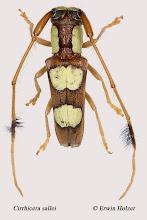 Photo: Cirrhicera sallei, 8,7 mm, Costa Rica, Esquinas Rainforest (08°42´/-83°12´), leg. Erwin Holzer, det. Herbert Schmid