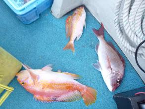 Photo: 真鯛、アカイサキ、タマガシラのトリプルキャッチ!